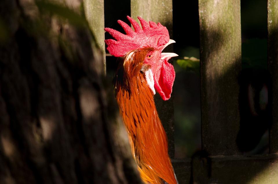 Hahn, Species, Nature, Bird, Close, Plumage, Colorful
