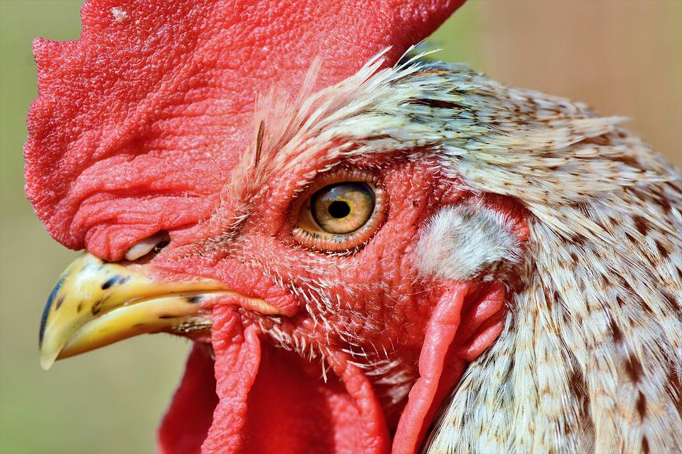 Hahn, Rooster Head, Crow, Poultry, Eye, Comb, Chicken