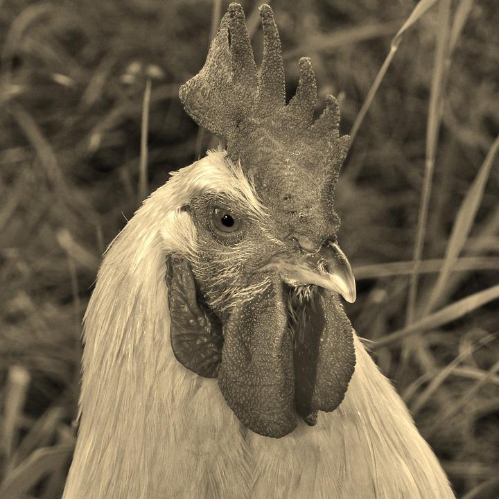 Hahn, Animal, Portrait, Black And White, Poultry