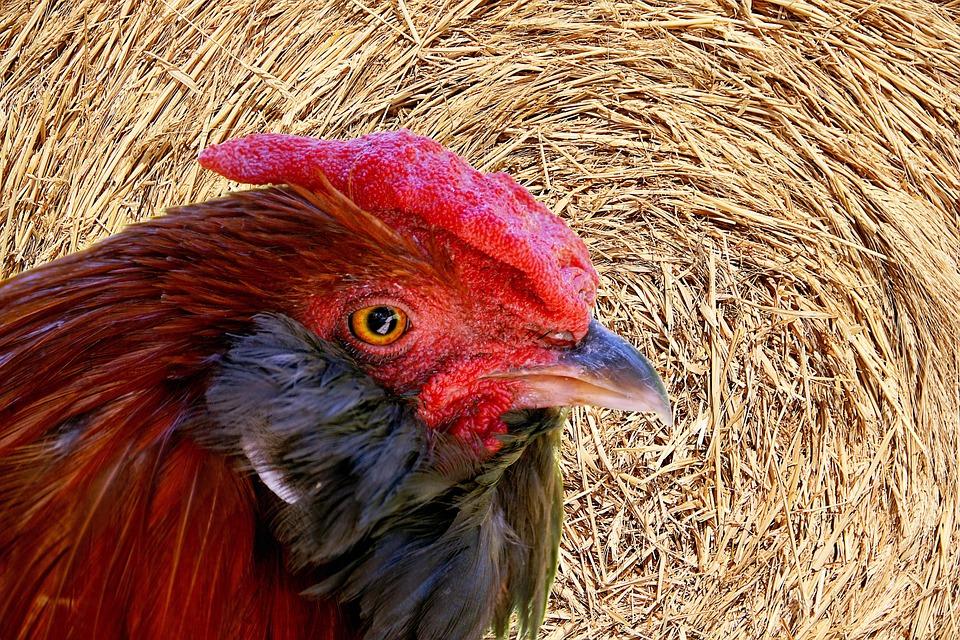 Hahn, Straw, Gockel, Poultry, Agriculture, Rural
