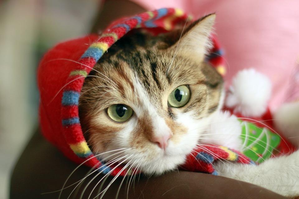 Cute, Portrait, Kitten, Cat, Feline, Animal, Hair