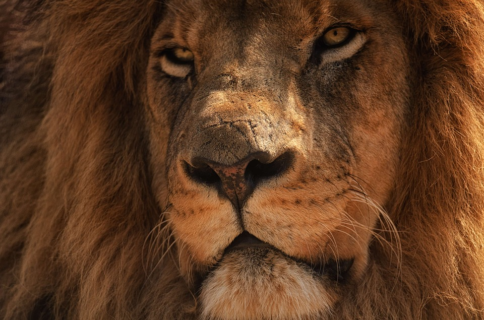 Portrait, Close, Eye, Lion, Mane, Hair, Big 5