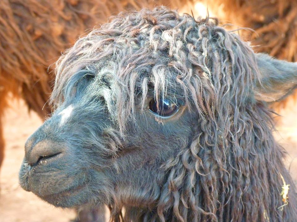 Alpaca, Lama, Animal, Furry, Fluffy, Head, Hair, Fur