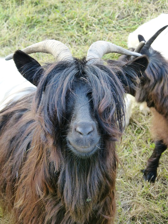 Goat, Mammal, Paarhufer, Hair, Eyes, Pasture