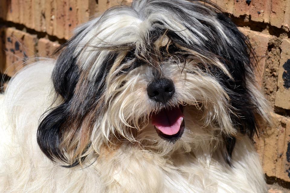 Dog, Cute, Hairy