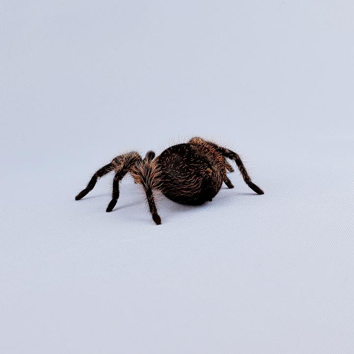 Tarantula, Hairy, Macro, Leg Hair, Close-up