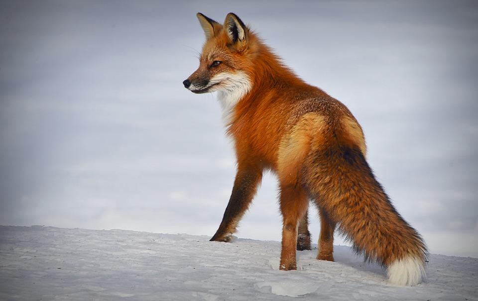 Fox, Nature, Winter, Snow, Mammal, Predator, Hairy