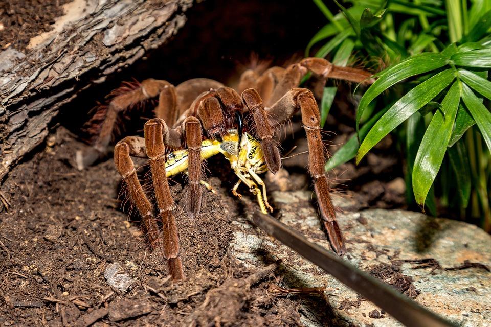 Tarantula, Theraphosa, Spider, Brown, Creepy, Hairy