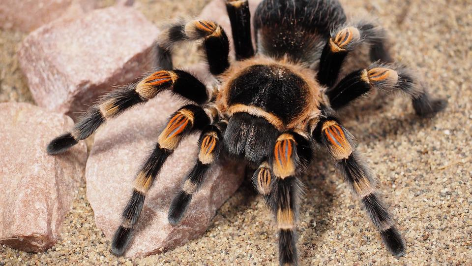 Tarantula, Spider, Animal, Hairy, Nature, Species