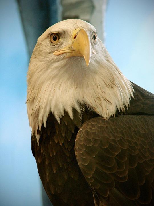 Leucocephalus, Haliaeetus, Bird, Bald, Eagle, Birds