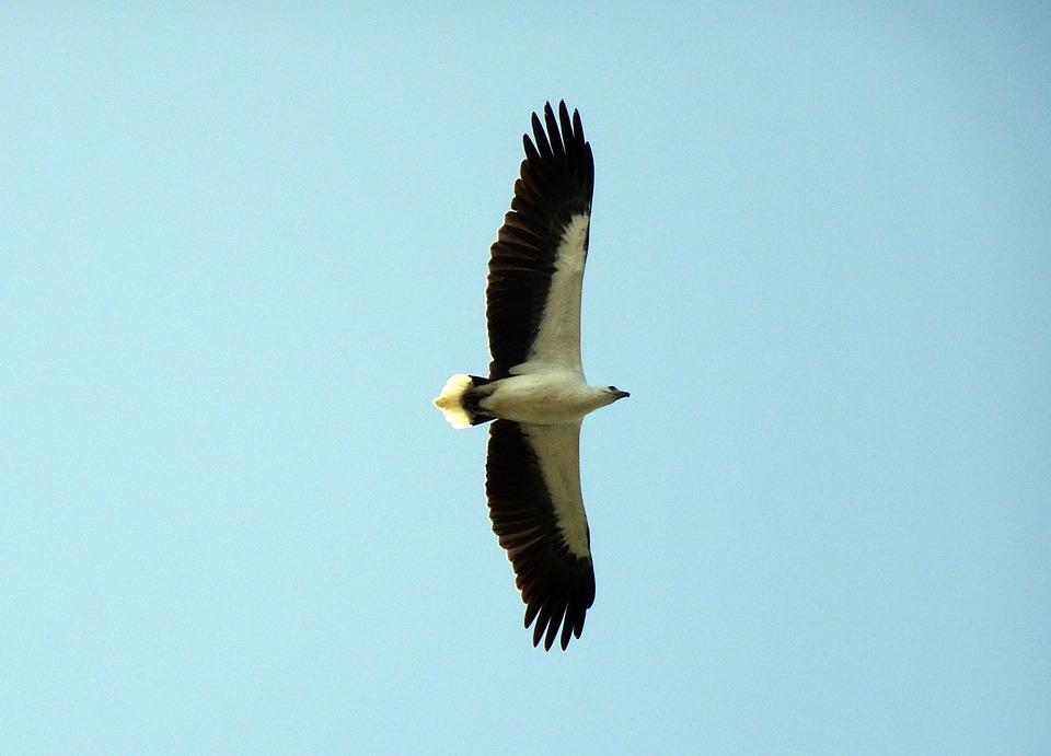 Bird, White-bellied, Sea Eagle, Haliaeetus Leucogaster
