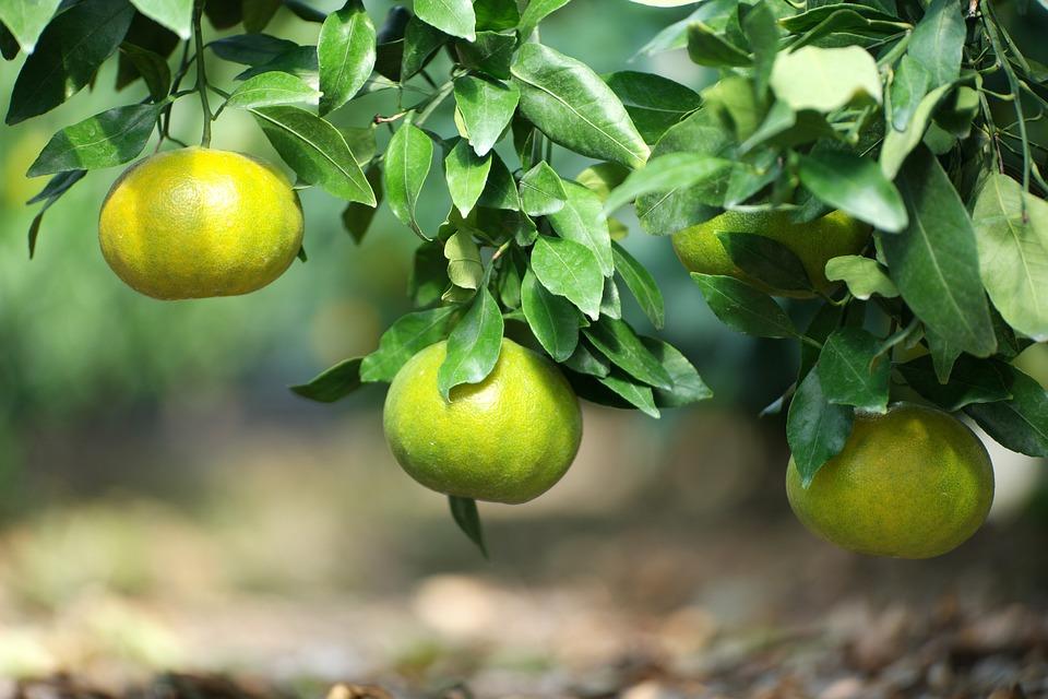 Jeju Island, Tangerine, Fruit, Hallabong, Orange