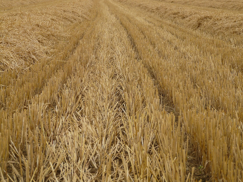 Glean, Stubble, Harvest, Cereals, Stalk, Halme