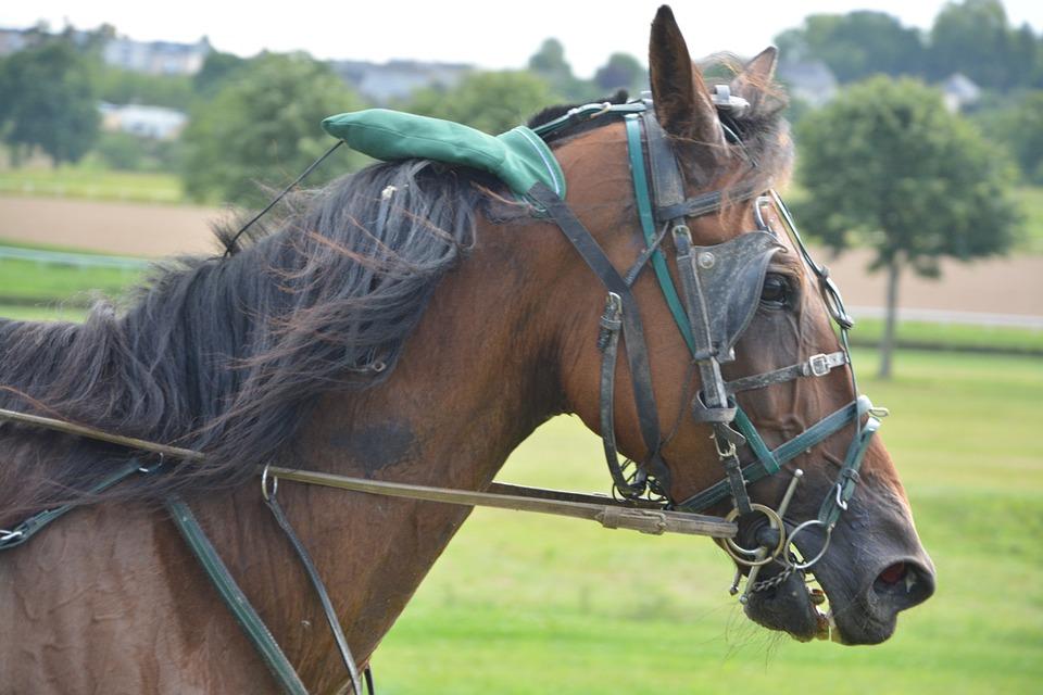 Horse, Horse Racing, Bonnet Ears, Halter, Net
