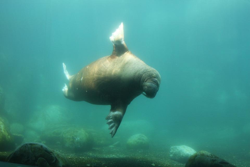 Walrus, Zoo, Hamburg
