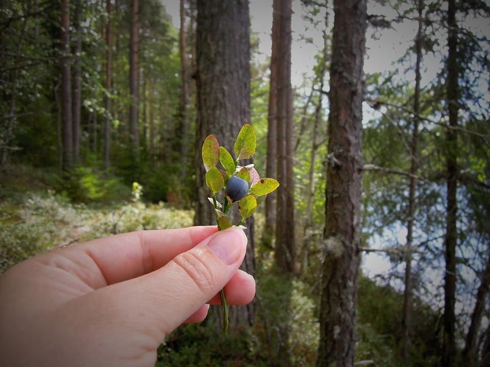 Blueberry, Blueberry Twig, Hand, Forest, Berry, Finnish