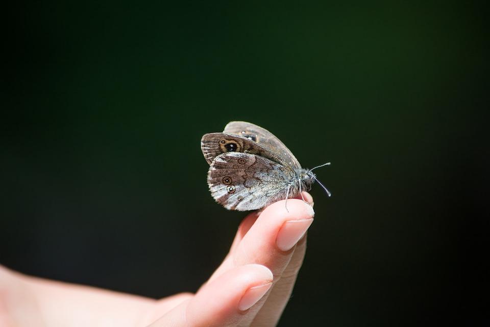 Wall Fox, Lasiommata Megera, Butterfly, Hand, Finger