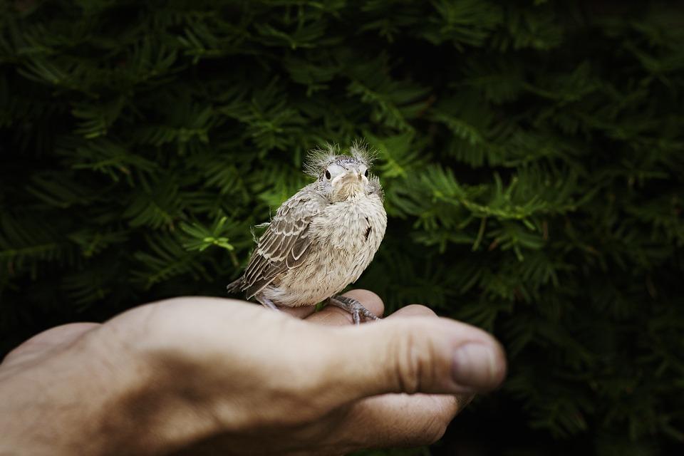 Hand, Baby Cardinal, Cardinal, Bird, Fly, Wings