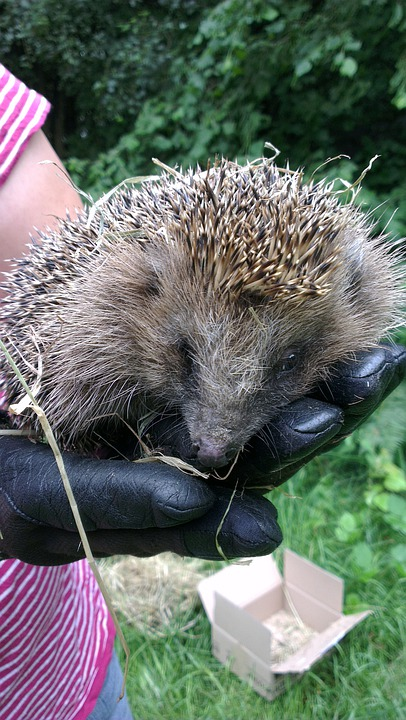 Hedgehog, Hand, Glove, Close, Animal, Prickly, Lift