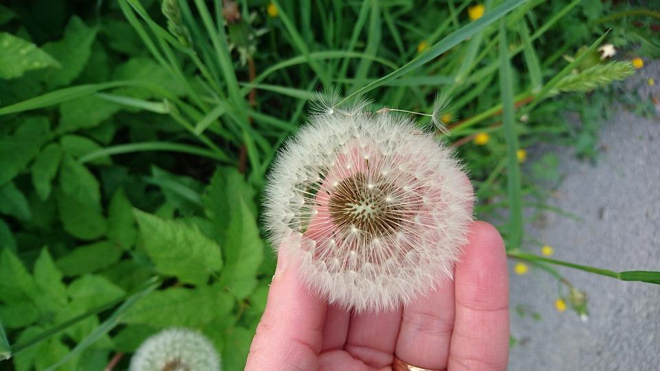 Dandelion, Summer, Nature, Sweden, Hand