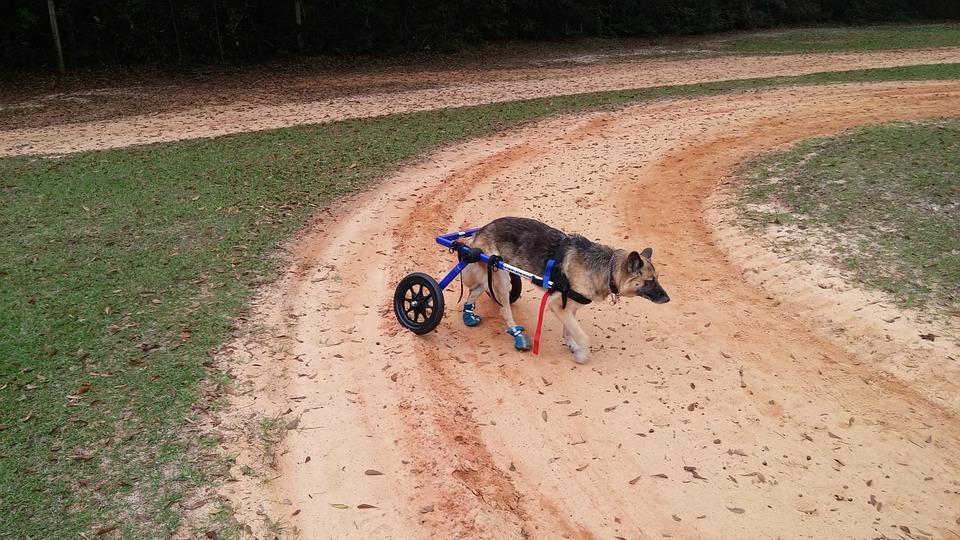 German Shepherd, Dog, Wheelchair, Old, Handicapped