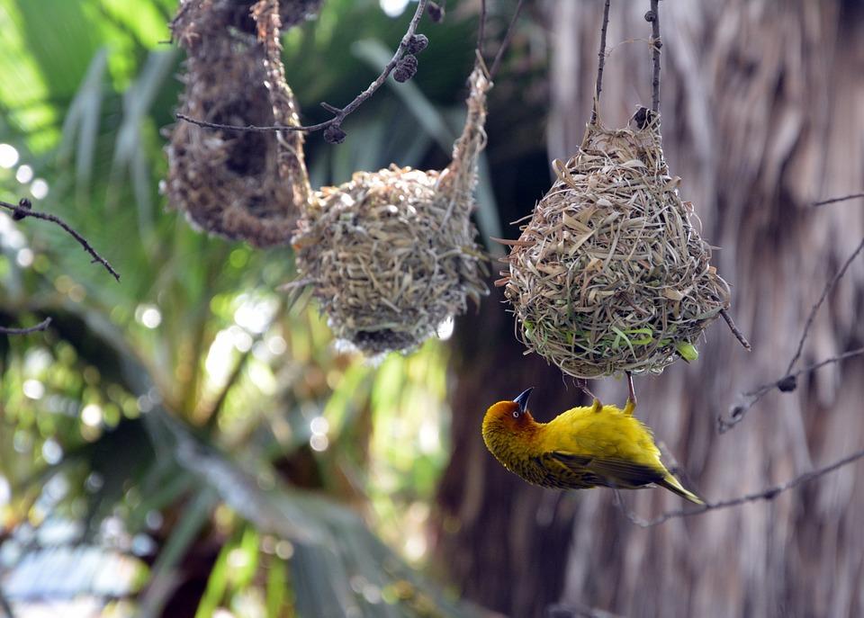 Bird Nests, Finch, Hanging