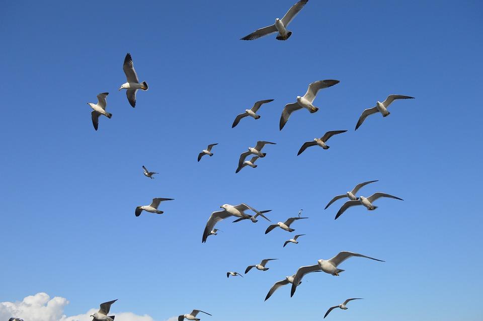 Bird, Sky, Wildlife, Seagulls, Flight, Hanriver