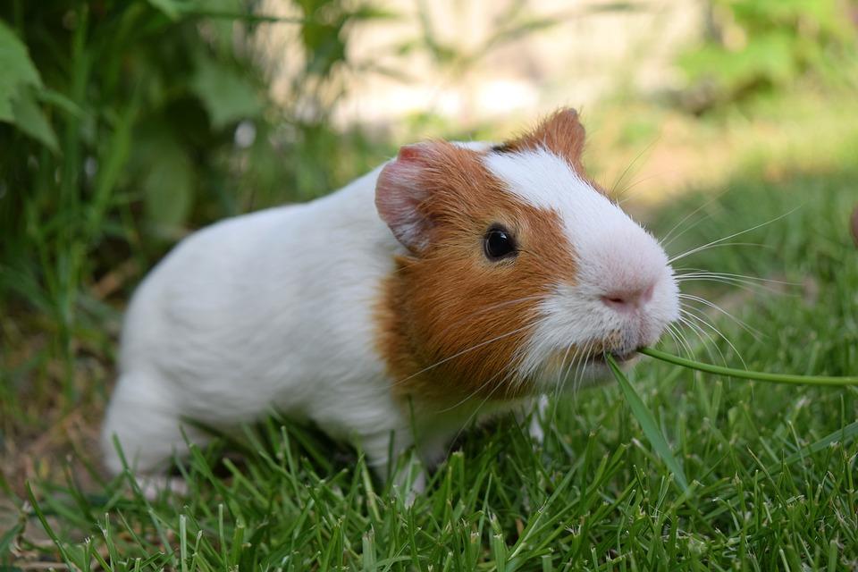 Guinea Pig, Pig, Cute, Pet, Funny, Happy, Grass, Cavia