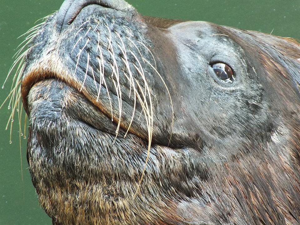 Seal, Sea Lion, Head, Animal, Aquatic, Marine, Happy