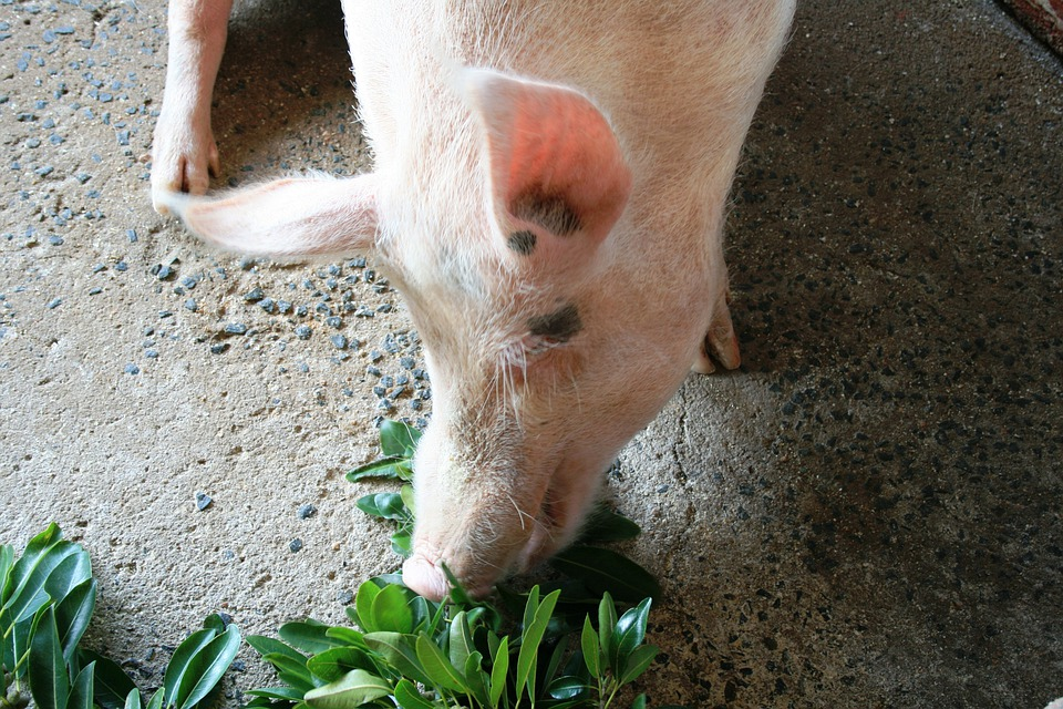 Pig, Pink, Happy, Fat, Hungry, Leaves, Fodder, Feeding