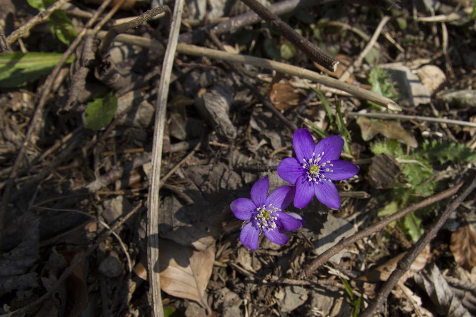 Harbinger Of Spring, Hepatica, Hahnenfu Greenhouse