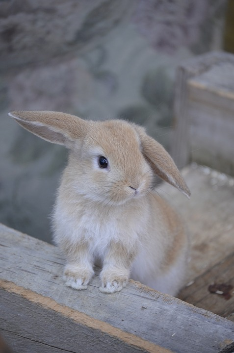 Hare, Golden Bunny, Dwarf Aries