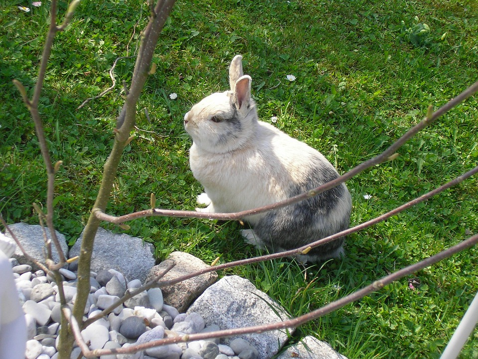 Rabbits, Hare, Pet, Munchkins