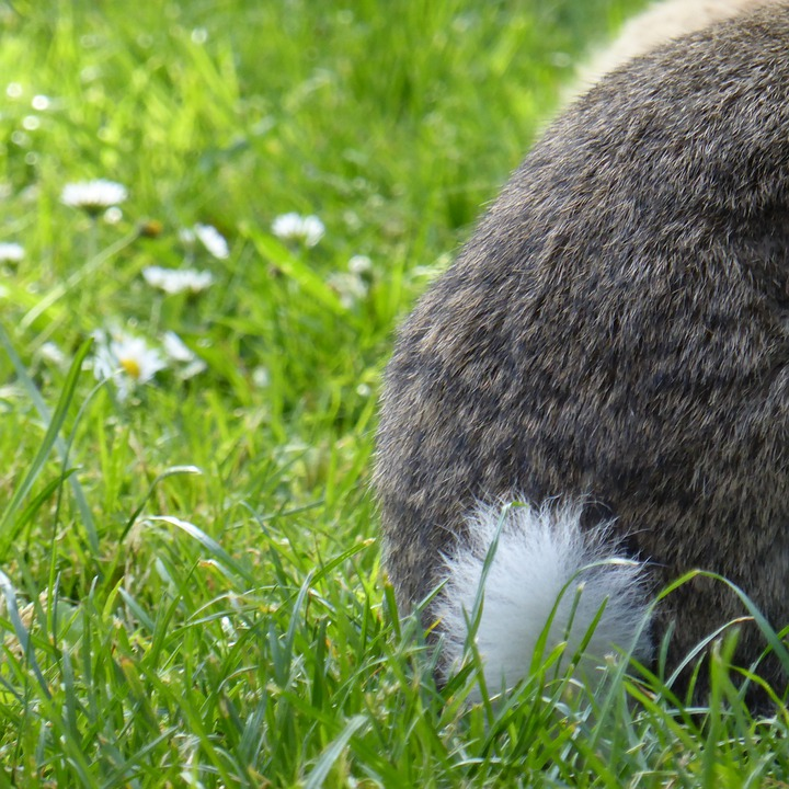 Rabbit, Hare, Tail, Grass Animal, Nager, Garden, Pet