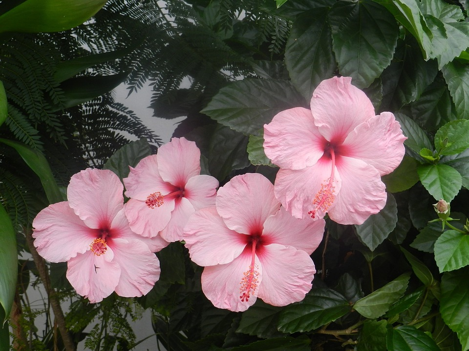 Hibiscus Pink, Harmony, Flowers