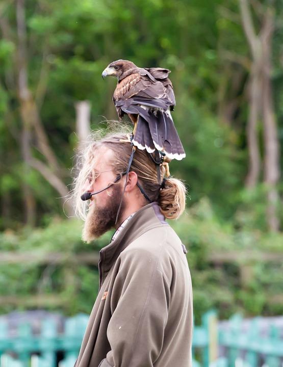 Harris Hawk On Mans Head, Hawk On Head, Harris Hawk