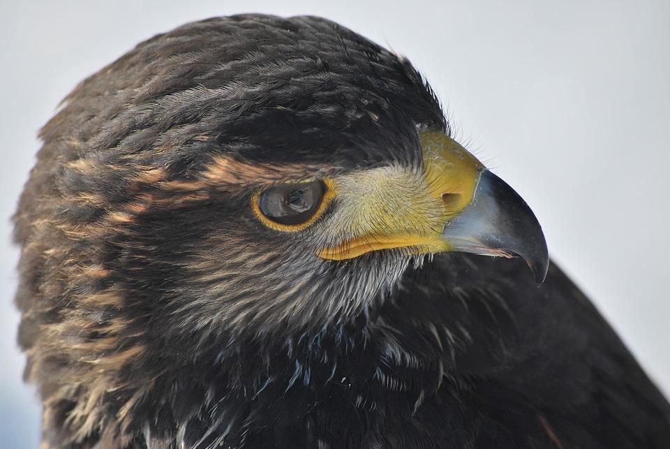 Harris Hawk, Raptor, Falconry