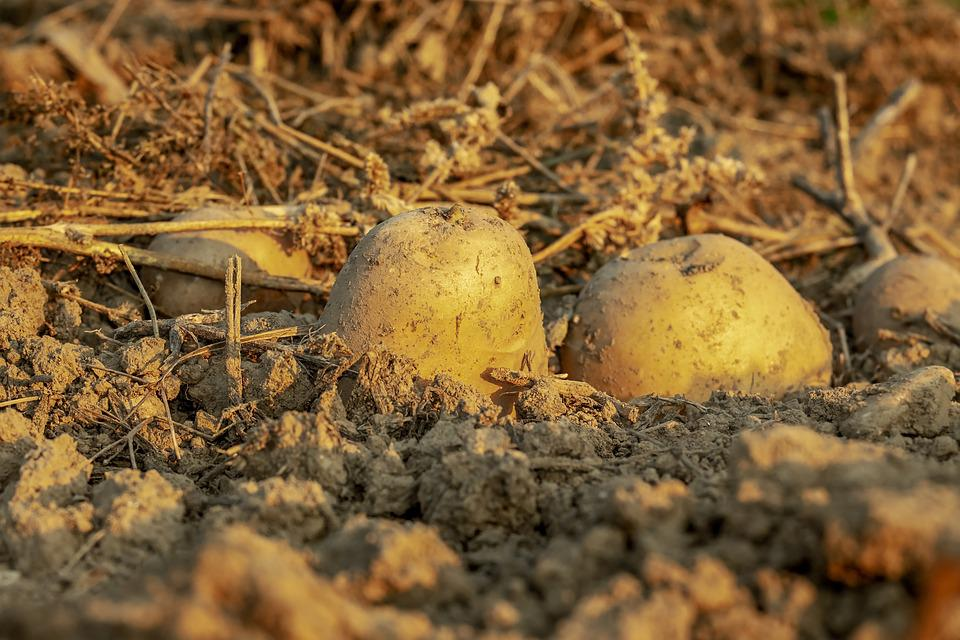 Potatoes, Tubers, Harvest, Field, Agriculture