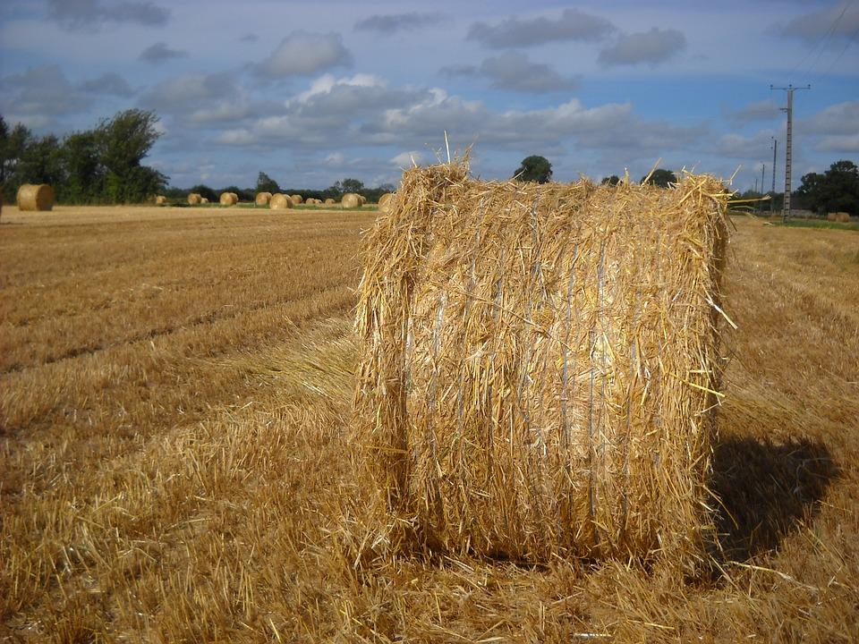 Harvest, Cereals