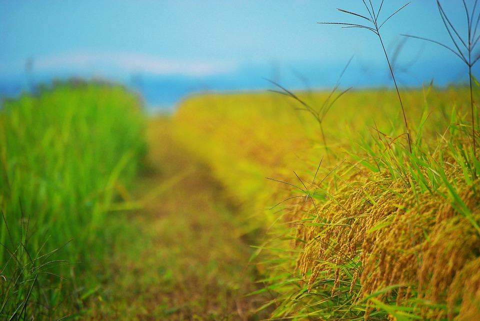 Harvest, Ch, Grain, Rice, Autumn, Plants, Field, Korea