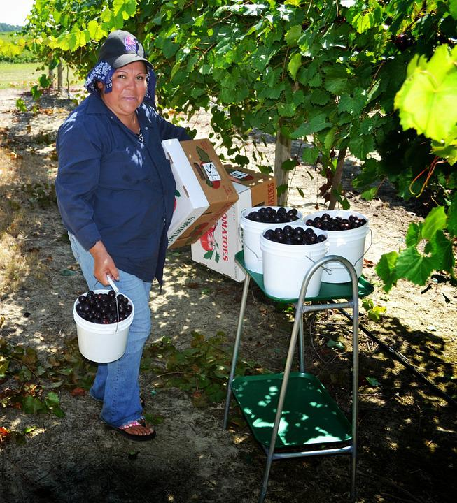 Muscadine, Farm Worker, Harvest