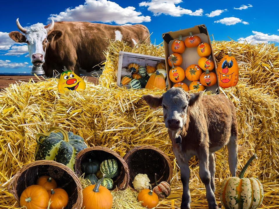 Pumpkin, Autumn, Decorative Squashes, Harvest Festival