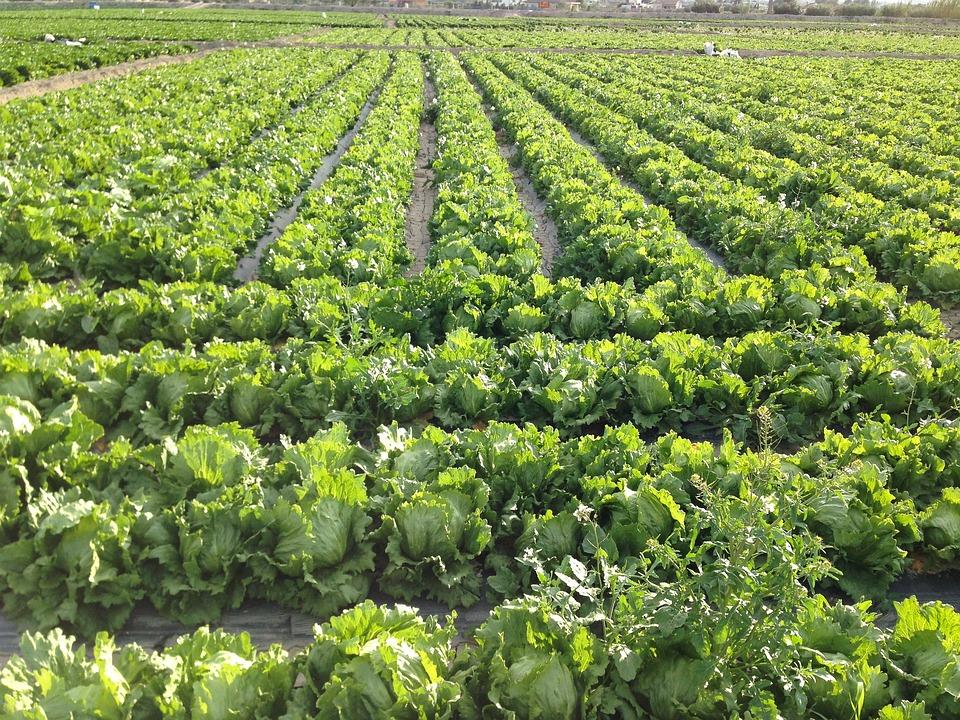Salad, Field, Agriculture, Harvest