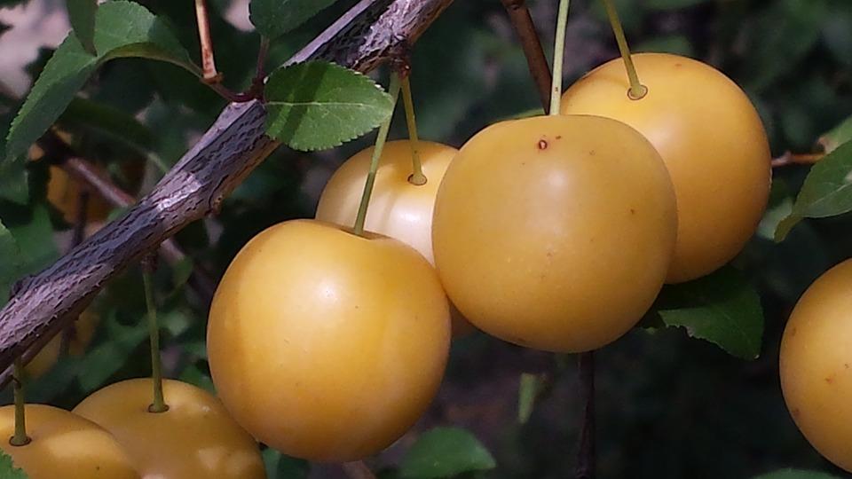 Yellow Plums, Fruits, Autumn, Harvest, Fruit, Nature
