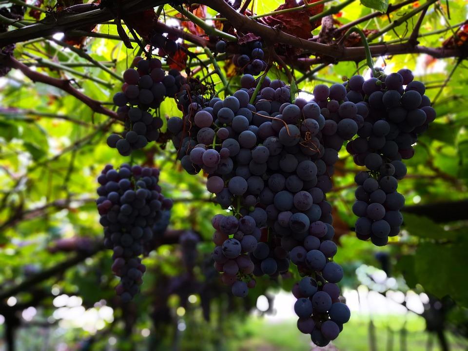 Wine, Grapes, Vine, Red, Umbel, Fruit, Harvest, Juice