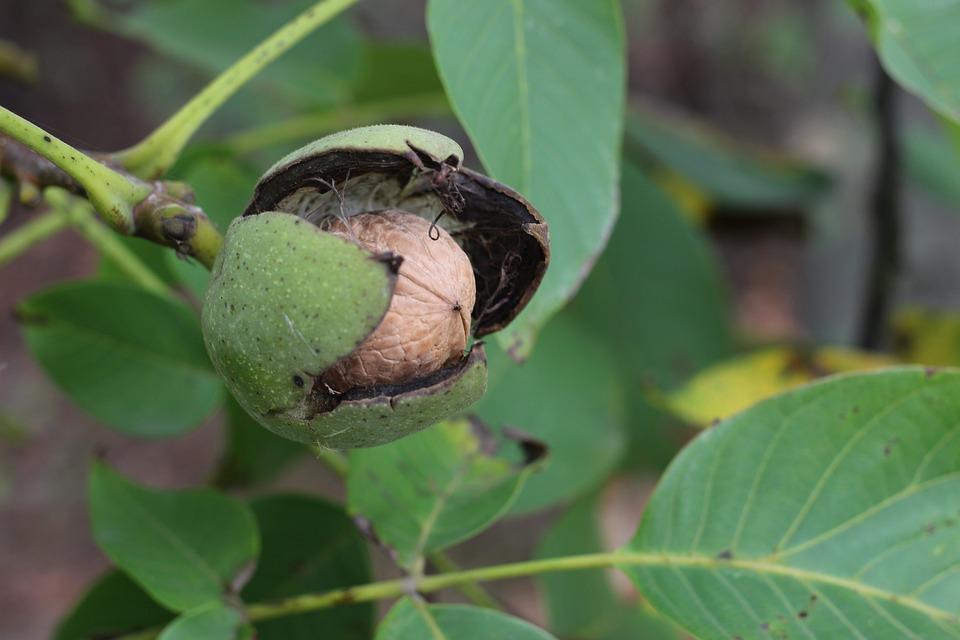 Walnut, Greek, Green, Fruit, Harvest, Green Leaves