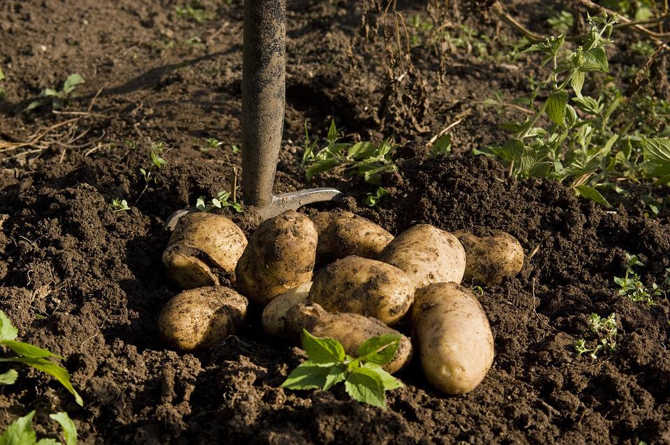 Potato, Garden, Harvest, Hay Fork, Food, Eat