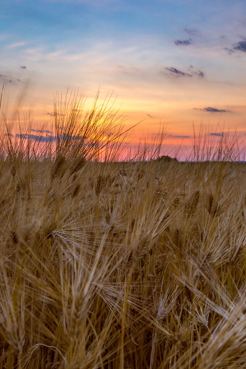 Wheat, Harvest, Farm, Field, Nature, Grain, Summer