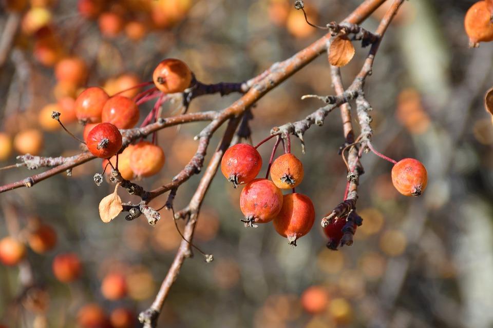 Fall, Apples, Tree, Fruit, Harvest, Red, Food, Nature