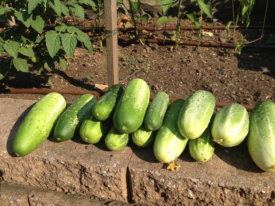Cucumber, Harvest, Garden, Organic